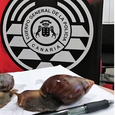 La Policía Autonómica se incauta de dos ejemplares de caracoles gigantes africanos