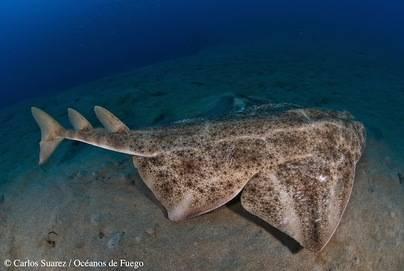 Estudio sobre la ecología del Angelote, uno de los tiburones más amenazados de Europa