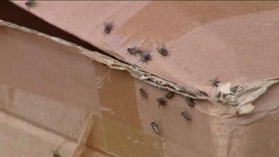 Expediente informativo al detectar un posible foco de las moscas en Melenara y Salinetas