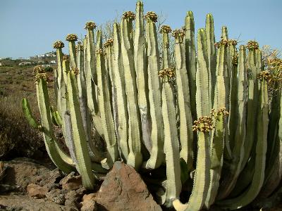 Política Territorial estudia el impacto del cambio climático en la flora de Tenerife y Gran Canaria