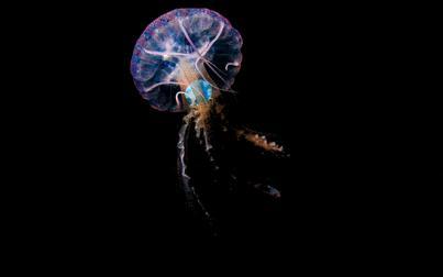 Medusas con plástico en su interior evidencian el impacto de la contaminación en los océanos