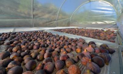 El Pinar impulsa la economía local con la mejora de la producción de higo