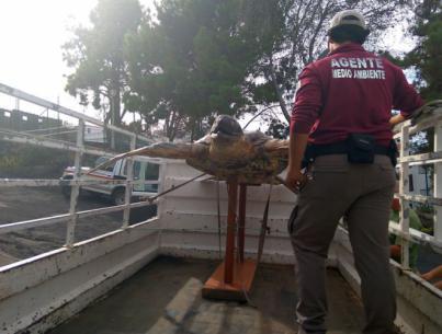Agentes de Medio Ambiente se incautan de un ejemplar disecado de tortuga laúd