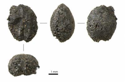El análisis de semillas arqueológicas de la Cueva de Villaverde modifica el conocimiento sobre los majos