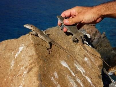 La Gomera impulsa la conservación y divulgación del Lagarto Gigante