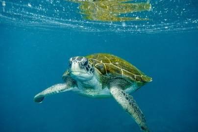 La ULPGC participa en un proyecto para la conservación de la tortuga verde