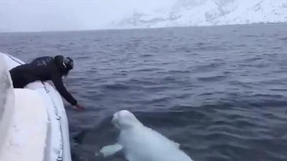 Ballena beluga for president