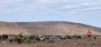 La mejora genética de la cabra majorera en Gran Canaria