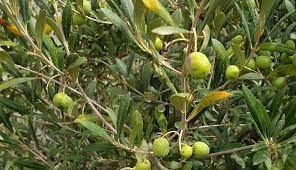 El Cabildo colabora con Olipalma en la producción de aceite de oliva