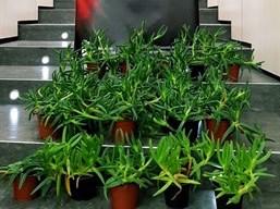 La Policía Canaria interviene en Santa Brígida 23 ejemplares de una planta exótica invasora