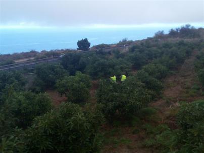 Detenidos cuatro hombres por el robo de 12.000 kilos de aguacates en fincas de La Matanza