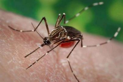 Detectan ejemplares de mosquito 'Aedes aegypti' en Fuerteventura