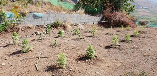 Intervienen más de 230 plantas de marihuana en La Frontera