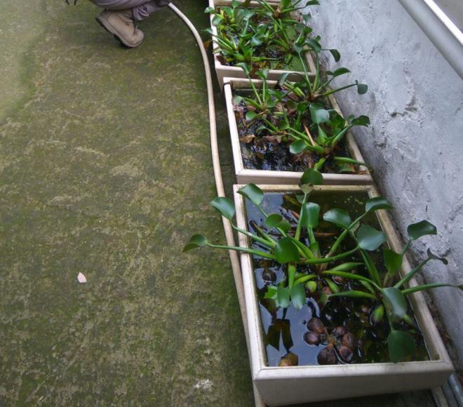 Incautación más de 30 ejemplares de una especie botánica exótica invasora