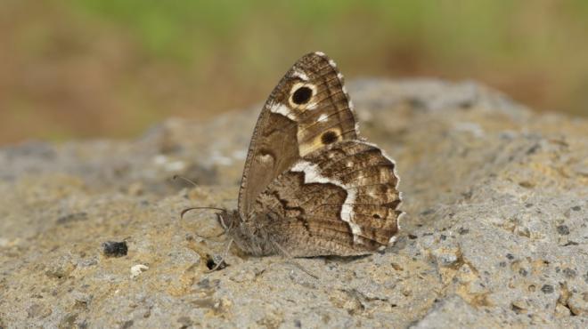 Medio Ambiente pone en marcha el programa de seguimiento de mariposas en La Palma