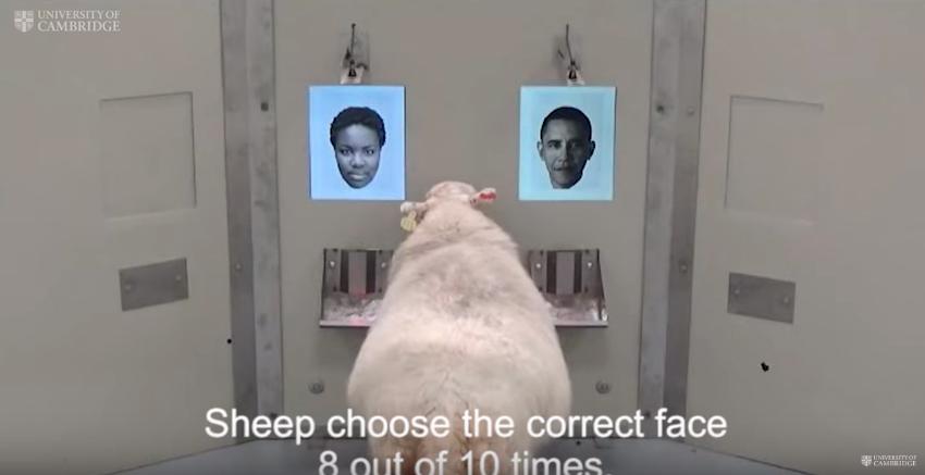 Las ovejas son capaces de reconocer rostros humanos en fotografías