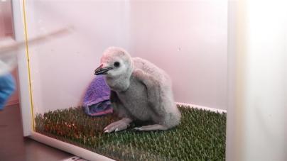 Nace una cría de pingüino barbijo en Loro Parque