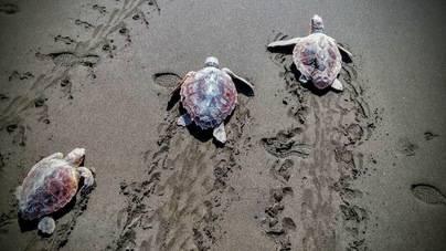 Devuelven al mar 30 tortugas tratadas en el Centro de Recuperación de Fauna Silvestre