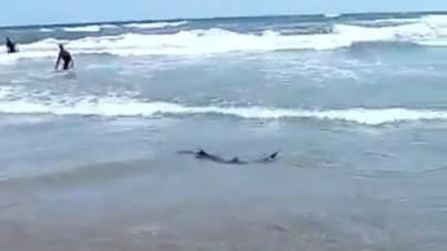 No se ha avistado un tiburón en las playas de San Bartolomé de Tirajana