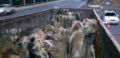 La Policía sanciona a dos vehículos por llevar quince dromedarios hacinados