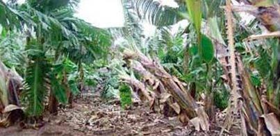 Importantes daños en los cultivos de La Palma