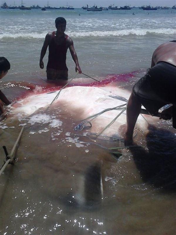 Una mantarraya de 1.000 kilos es capturada en La Cruz, Perú