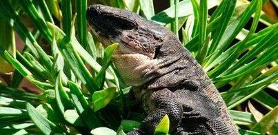 El Lagarto Gigante de La Gomera se aleja de su extinción