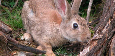 Inicio de la campaña de control del conejo silvestre
