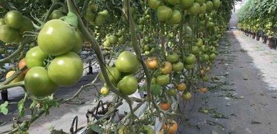 Innovación en el cultivo ecológico de tomate